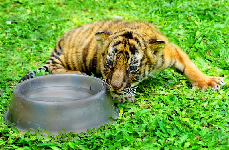 baby-tiger-thumb.jpg